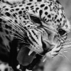 Аватар пользователя Darkleopard