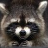 Аватар пользователя raccoonphobia