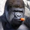Аватар пользователя WildGorilla