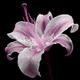 Аватар пользователя lilium.invictum