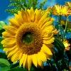 Аватар пользователя SunflowerOil