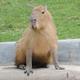 Аватар пользователя thekapibara