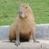 thekapibara