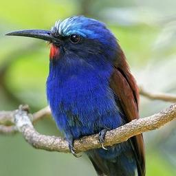 merops.bird