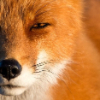 Аватар пользователя AlmondFox