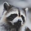 Аватар пользователя LovelyRaccoon