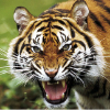 Аватар пользователя TigerX