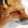 Аватар пользователя foxingoose