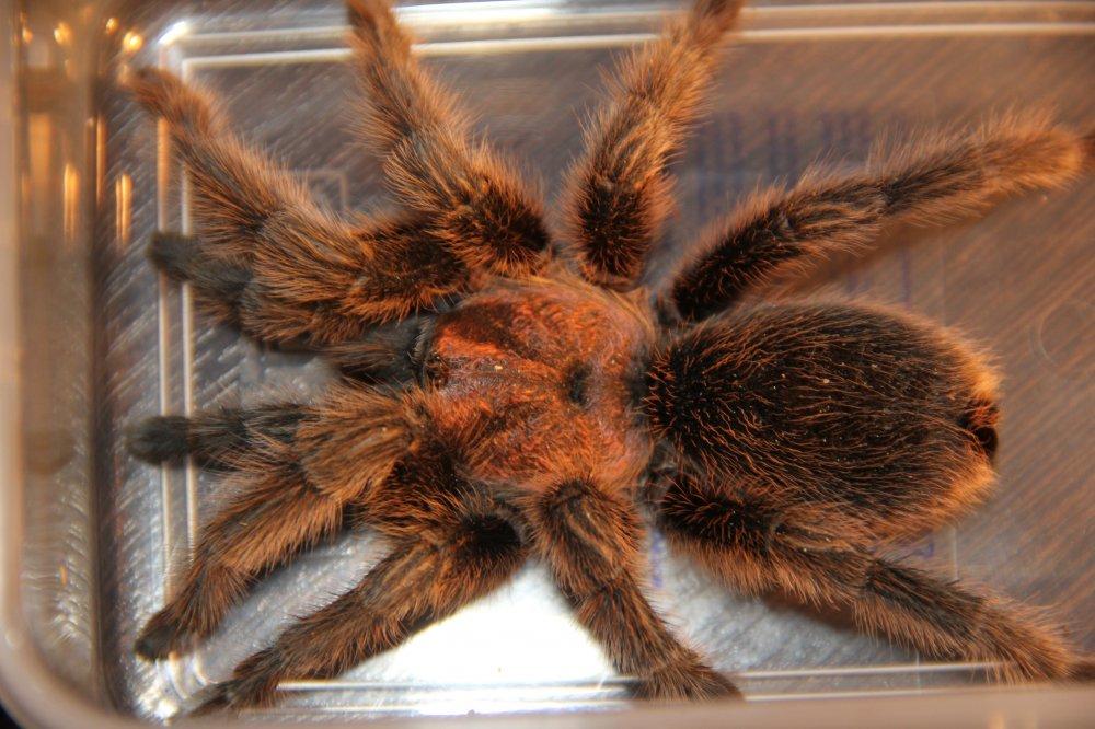 У паука лысеет жопа
