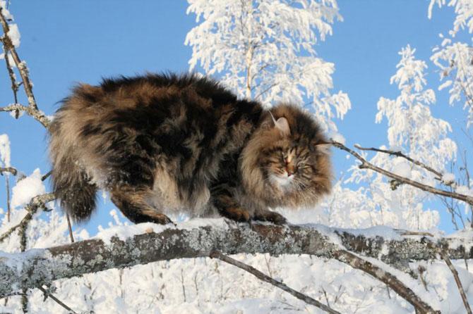 сибирский дикий кот фото