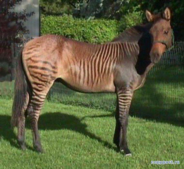 Полосатый член у зебры