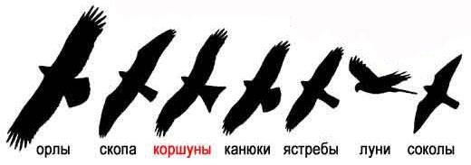 коршун ястреб сокол фото
