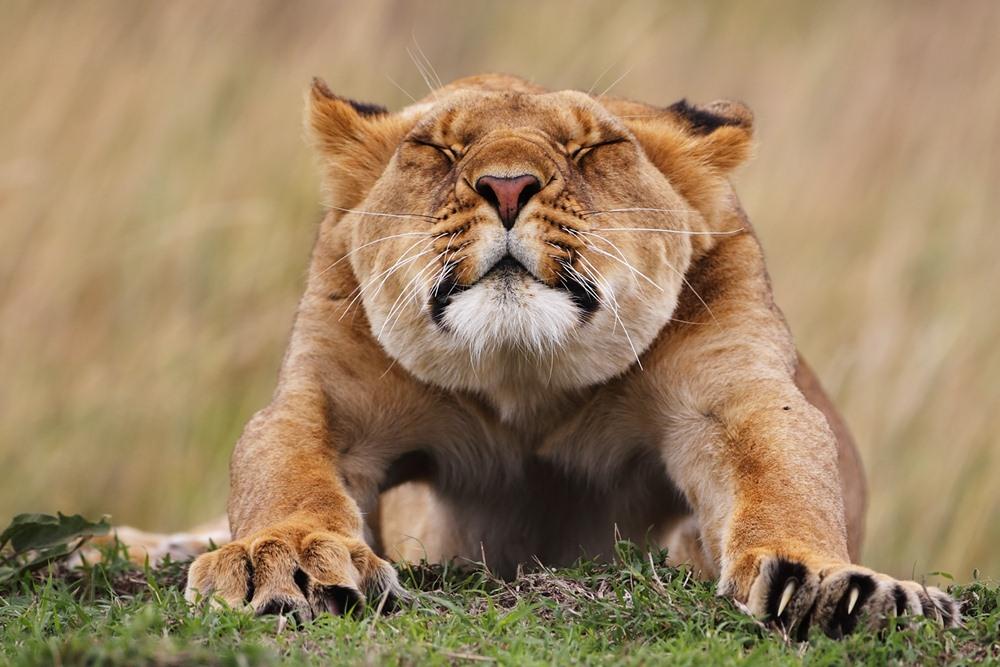 Лев жистоко трахает львицу фото 698-146