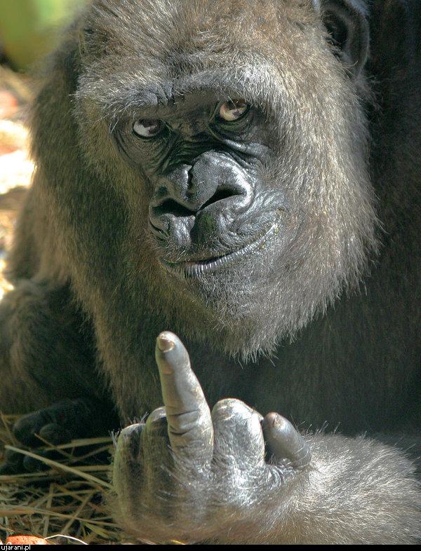 Самый большой пенис самца гориллы