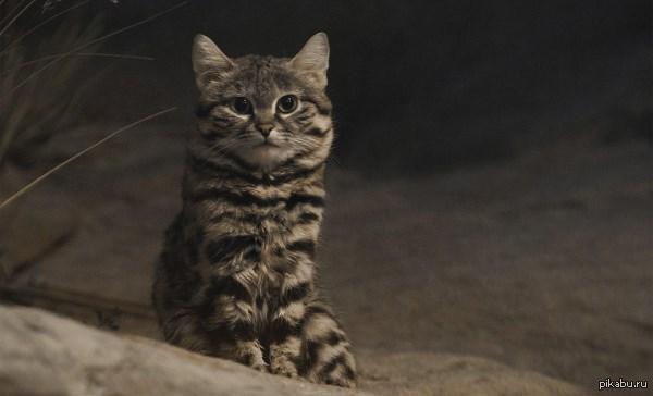 Черноногая кошка африканский дикий кот