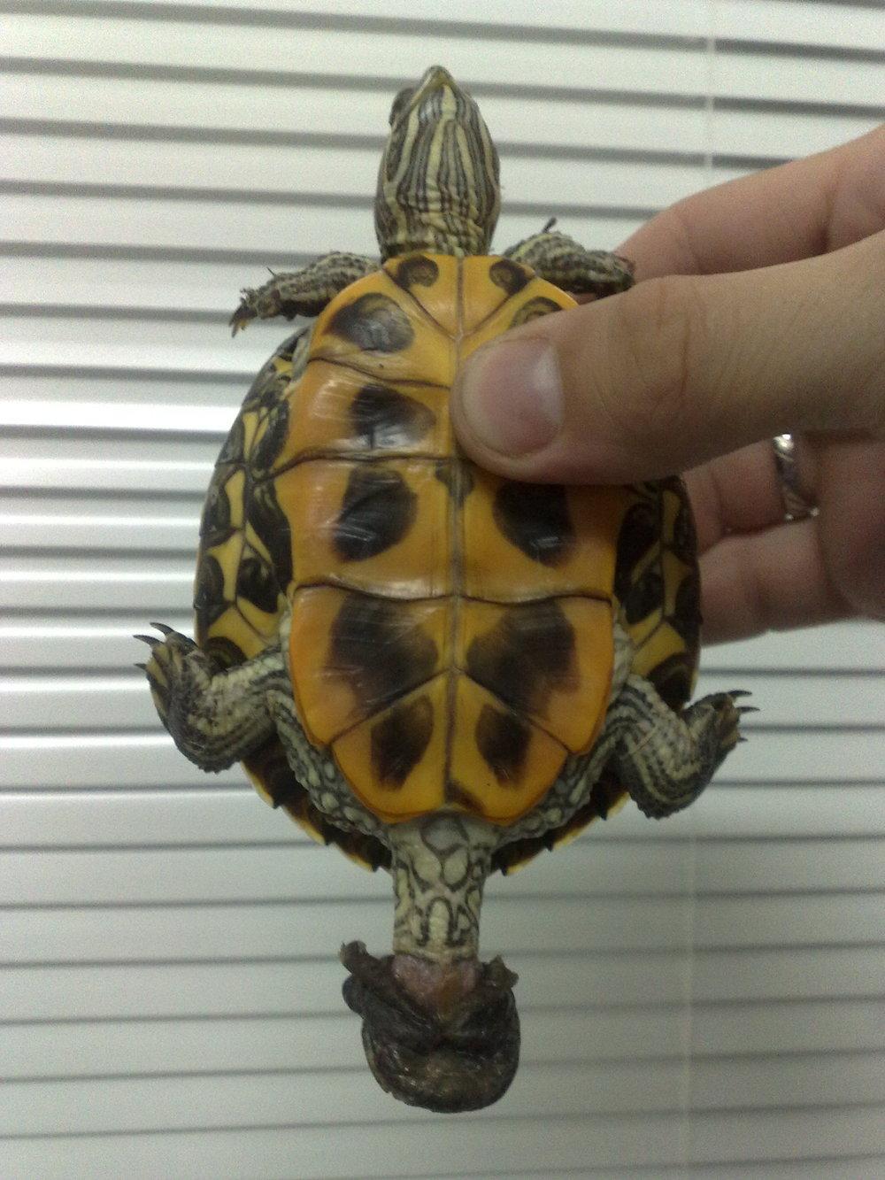 Черепаха член