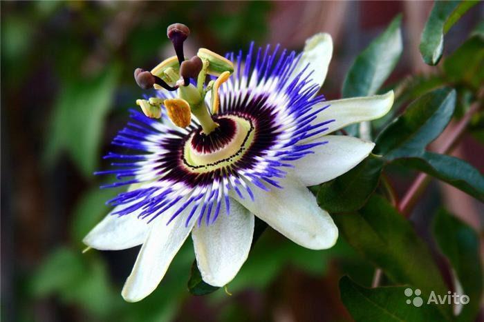Маракуйя фото цветы