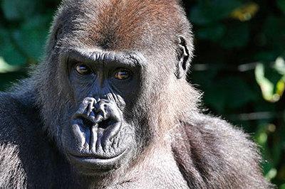 Негры от гориллы белые