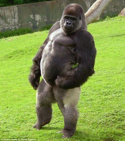 Порно с самкой гориллы