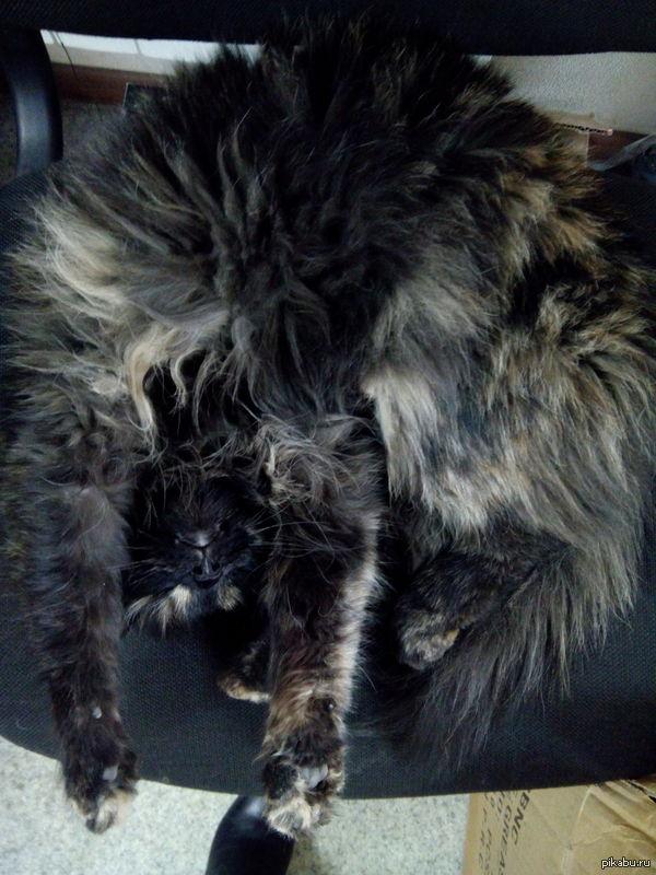 подпольная кличка Шишига! наша офисно-складская кошка, жутко обнаглевшее существо