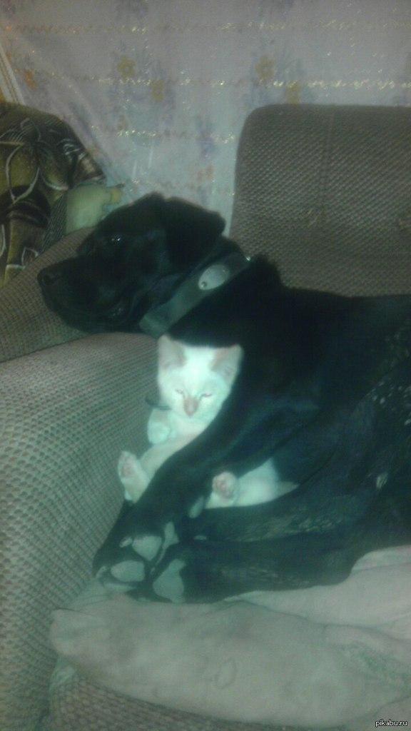 Под надежной защитой! На даче, во время строительства, к нам привязался потерявшийся белый котенок, в первые дни он сразу же подружился с моим лабрадором!