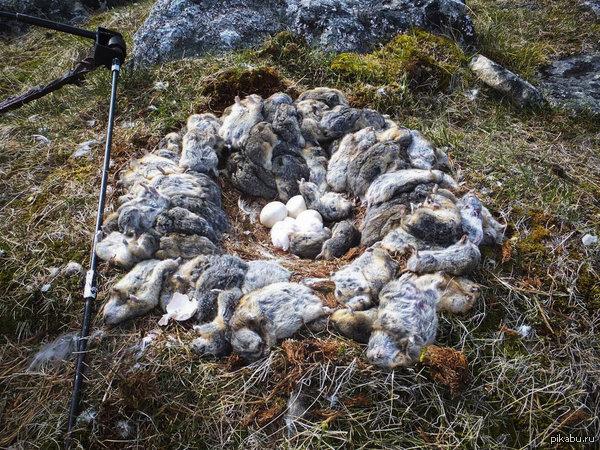 Полярная сова сделала гнездо из мёртвых леммингов.