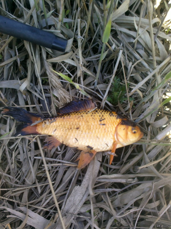 Поймал золотую рыбку. Поймал сегодня на рыбалке странного карася. Кто знает что за вид напишите.