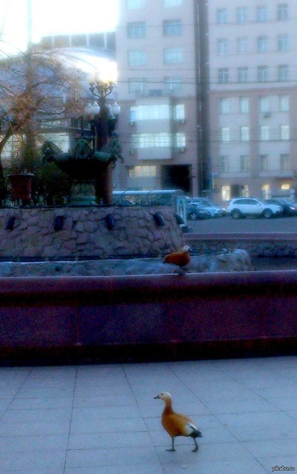 Экзотическая дикая фауна в центре Москвы. Помогите узнать, что за птицы. Вроде, как улетели из московского зоопарка.