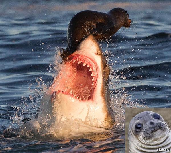 Давай прокачу! У тюленя очень сильный инстинкт самосохранения.Как только акула выпрыгивала из воды, чтобы сожрать тюленя, он усаживался ей на нос и катался.