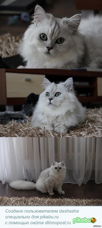 Мой Пушок! Ну невозможно быть постоянным пользователем котолюбивого сайта Пикабу и не похвастаться своим котиком:)