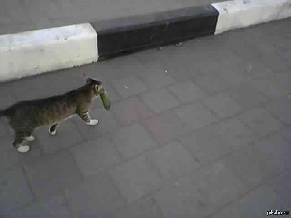 Кошка & Огурец Встретили на улице кошку, которая уверенно тащила куда-то огурец) Зачем он ей?)