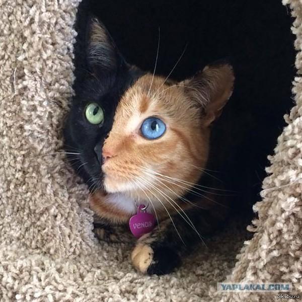 Кошка с двумя лицами