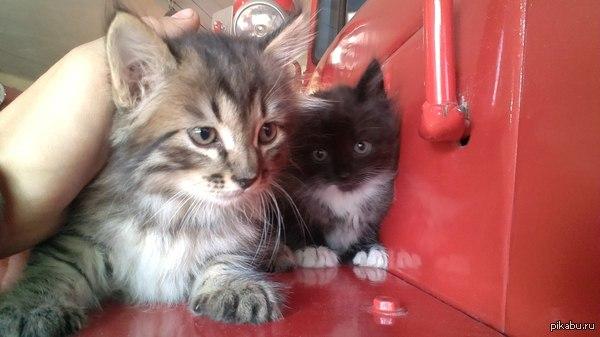 Спасите котят! Красноярск. в пожарке кошка принесла 3 котят. начальник нашей ПЧ сказал, что котят выбросит, если до конца недели не пристроим:(