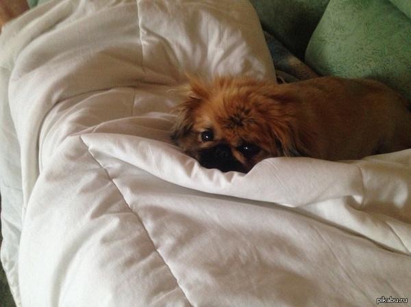 Всем псов! Когда я болею, мой пес так же хандрит со мной. Всем преданных милах :)