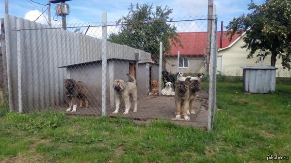 Собаки в ряд. Знакомый занимается разведением и продажей собак (На данный момент кавказцы).   Если будут вопросы, задавайте в комментариях, постараюсь ответить.