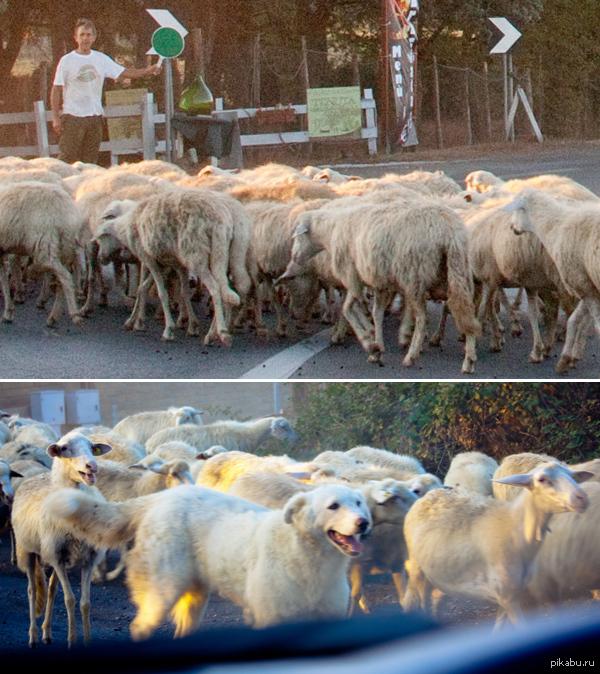 """Внедрился успешно) Недалеко от Рима в одном месте пропускали через дорогу стадо овец. Одна """"овца"""" показалась немного странной, и при ближайшем рассмотрении оказалась.."""