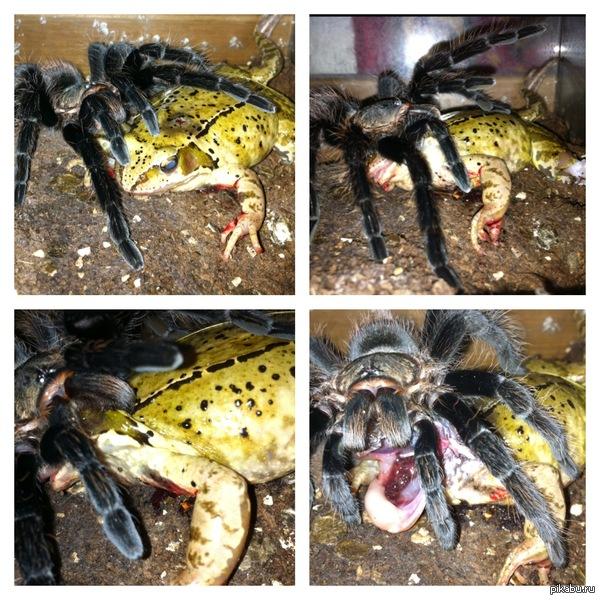 Птицеед завтракает, обедает и ужинает ... Птицеед размером 18 см поедает жабу(  словленная на трассе где бы и так погибла  от колес автомобилей) жаба около 20 см,  птецеед ее усмертил очень гуманно