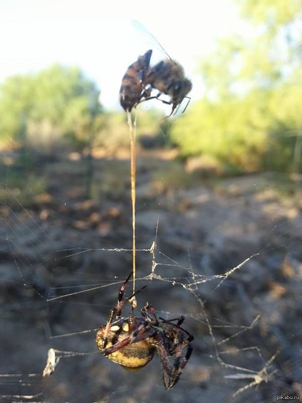 Ужасная картина. Паук поймал пчелу, но она успела ужалить в ответ. На фото видно жало торчащее из паука. Оба скончались.