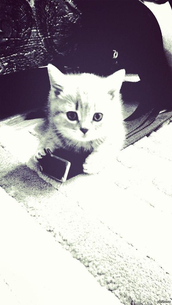 Моя котейка, которую зовут Несси. Породы скоттиш-страйт.