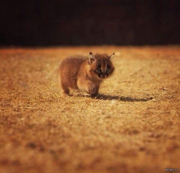 фото маленькой рыси