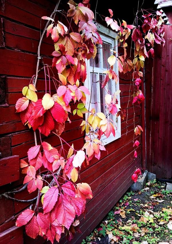 Яркие краски уходящей осени... Дикий виноград на даче
