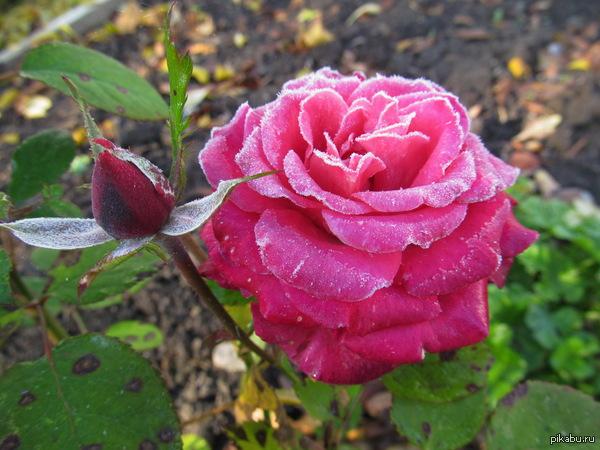 Роза после первых морозов Все цветы уже давно осыпались, а эти стояли почти до самого снега