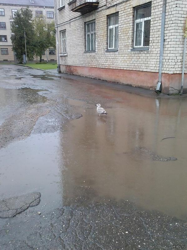 Она плавала по луже 5 минут и искала себе еду. Не только Россия может похвастаться своими уникальными дорогами. Латвия не отстает.
