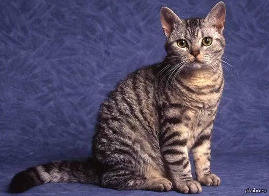 Самой редкой породой семейства кошачьих считается американская жесткошёрстная кошка.А с виду ничего необычного... Эта кошка впервые появилась в США в 1966 году, в результате скрещивания с американской короткошерстной породой. Таких кошек всего 22.