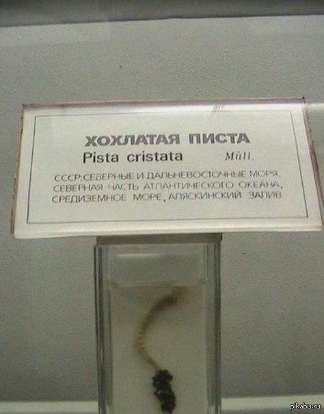ХОХЛАТАЯ ПИСТА pista cristata