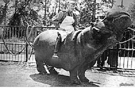 Бегемот ганс Во время штурма Кёнигсберга бегемота нашли советские солдаты на окраине зоопарка.Солдаты и назвали животное Гансом. В каментах забавный отчет о лечении зверя.