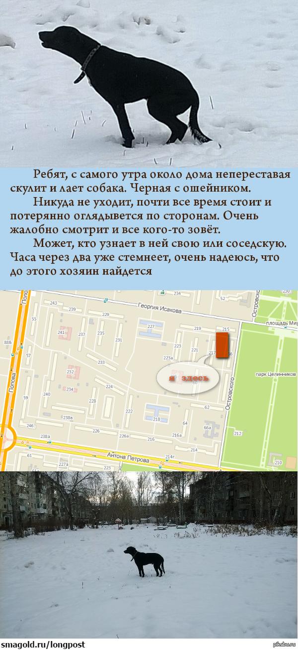 Потерянная собака. Барнаул (Исакова/Островского) Уже день бегает. Ищет кого-то, лает истошно. Явно не местная, не хочется верить, что выбросили. Может тут кто узнает.(канонично минусы внутри)