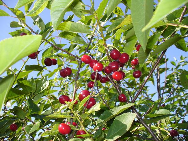 вот такая вишня выросла в этом году летом Повспоминал ,листая старенькие фотки в компе и решил поделиться. Всем сладкой вишни,господа :з