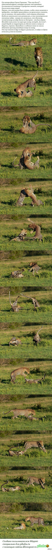 Драка леопардов