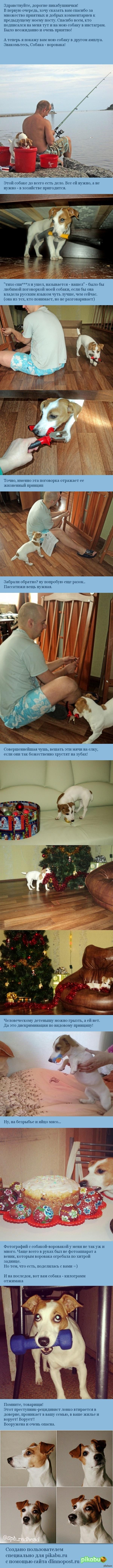 Собака - воровака порода: Джек Рассел терьер